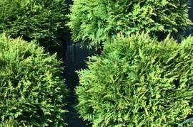Продажа декоративных кустарников и растений